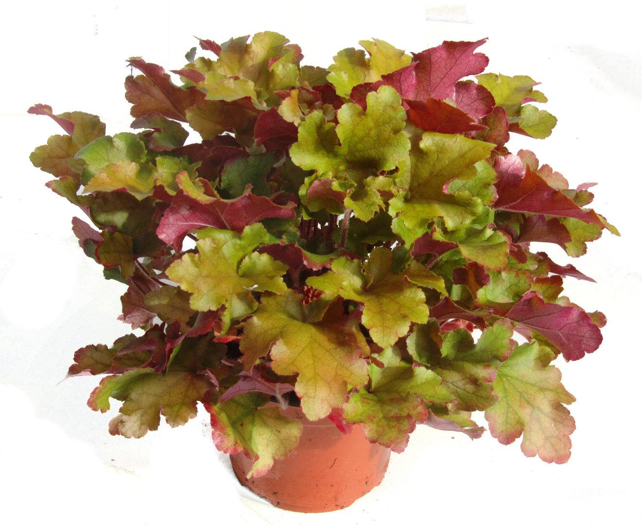 Heuchera cultivare hybrida 39 marmelade 39 purpurgl ckchen pflanzen versand f r die besten - Rankende zimmerpflanzen ...