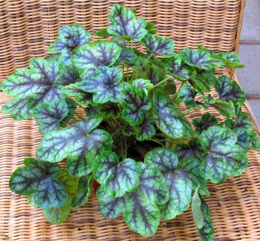 Heuchera Cultivare Hybrida Green Spice Purpurglöckchen