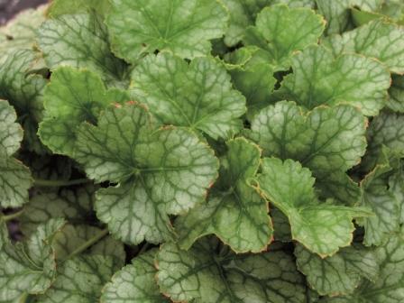 Heuchera cultivare hybrida 39 perpermint ice 39 purpurgl ckchen pflanzen versand f r die besten - Rankende zimmerpflanzen ...