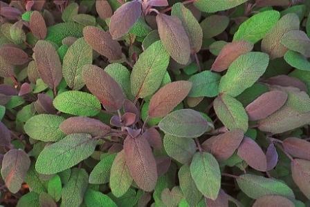 salvia officinalis purpurascens purpursalbei pflanzen versand f r die besten winterharten. Black Bedroom Furniture Sets. Home Design Ideas