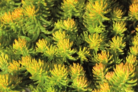 Sedum Reflexum Quot Yellow Cushion Quot Tripmadame Pflanzen