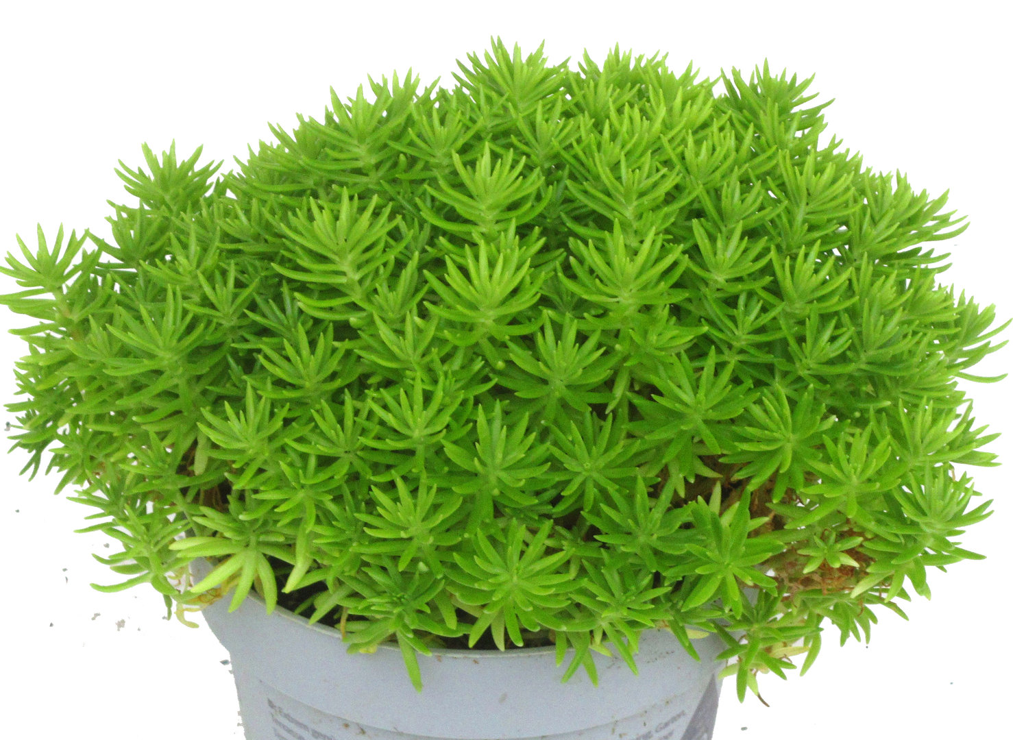 sedum anopetalum lemon ball tripmadame pflanzen versand f r die besten winterharten. Black Bedroom Furniture Sets. Home Design Ideas