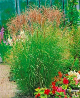 miscanthus sinensis kleine silberspinne chinaschilf gr ser pflanzen versand f r die. Black Bedroom Furniture Sets. Home Design Ideas