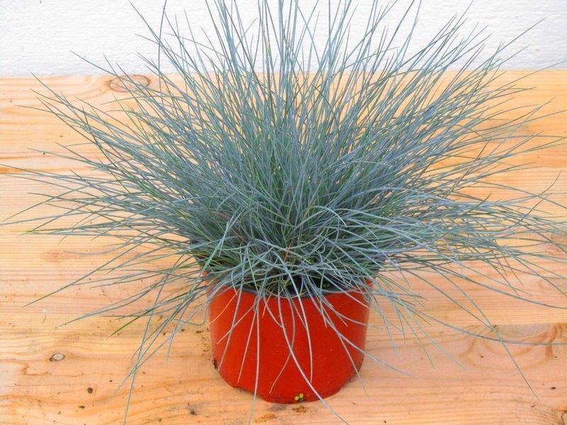 "festuca cinerea ""eisvogel"" - blauschwingel -gräser - pflanzen, Garten ideen"