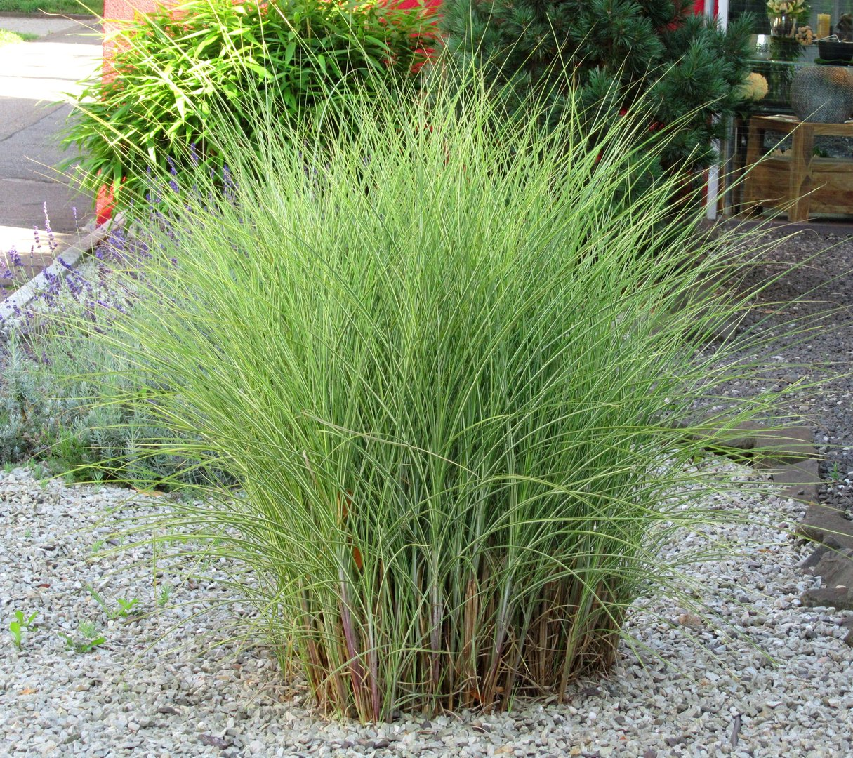 Miscanthus sinensis morning light chinaschilf gr ser for Pflanzen evergreen