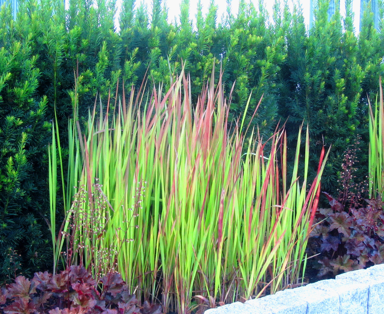 Imperata Cylindrica Quot Red Baron Quot Japanischjes Blutgras