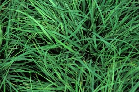 Carex panicea hirse segge gr ser pflanzen versand for Versand zimmerpflanzen