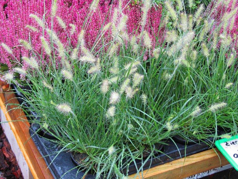 pennisetum alopecuroides little bunny lampenputzergras gr ser pflanzen versand f r die. Black Bedroom Furniture Sets. Home Design Ideas