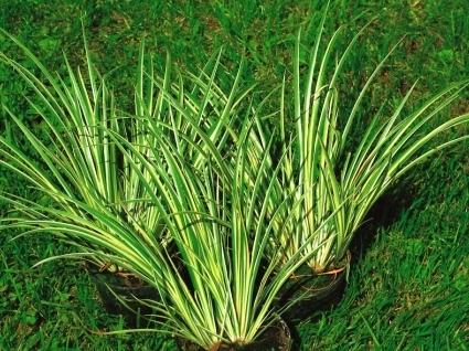 Zimmerpflanzen Gräser acorus gramineus variegatus kalmusgras gräser pflanzen versand für die besten winterharten