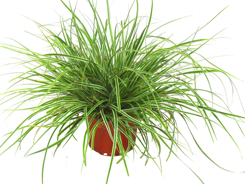 carex oshimensis everest segge gr ser pflanzen. Black Bedroom Furniture Sets. Home Design Ideas