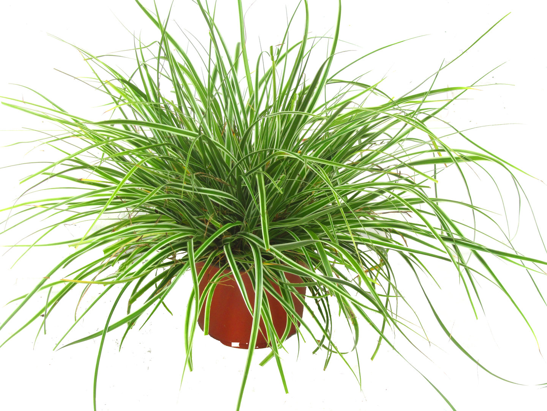 carex oshimensis everest segge gr ser pflanzen versand f r die besten winterharten. Black Bedroom Furniture Sets. Home Design Ideas