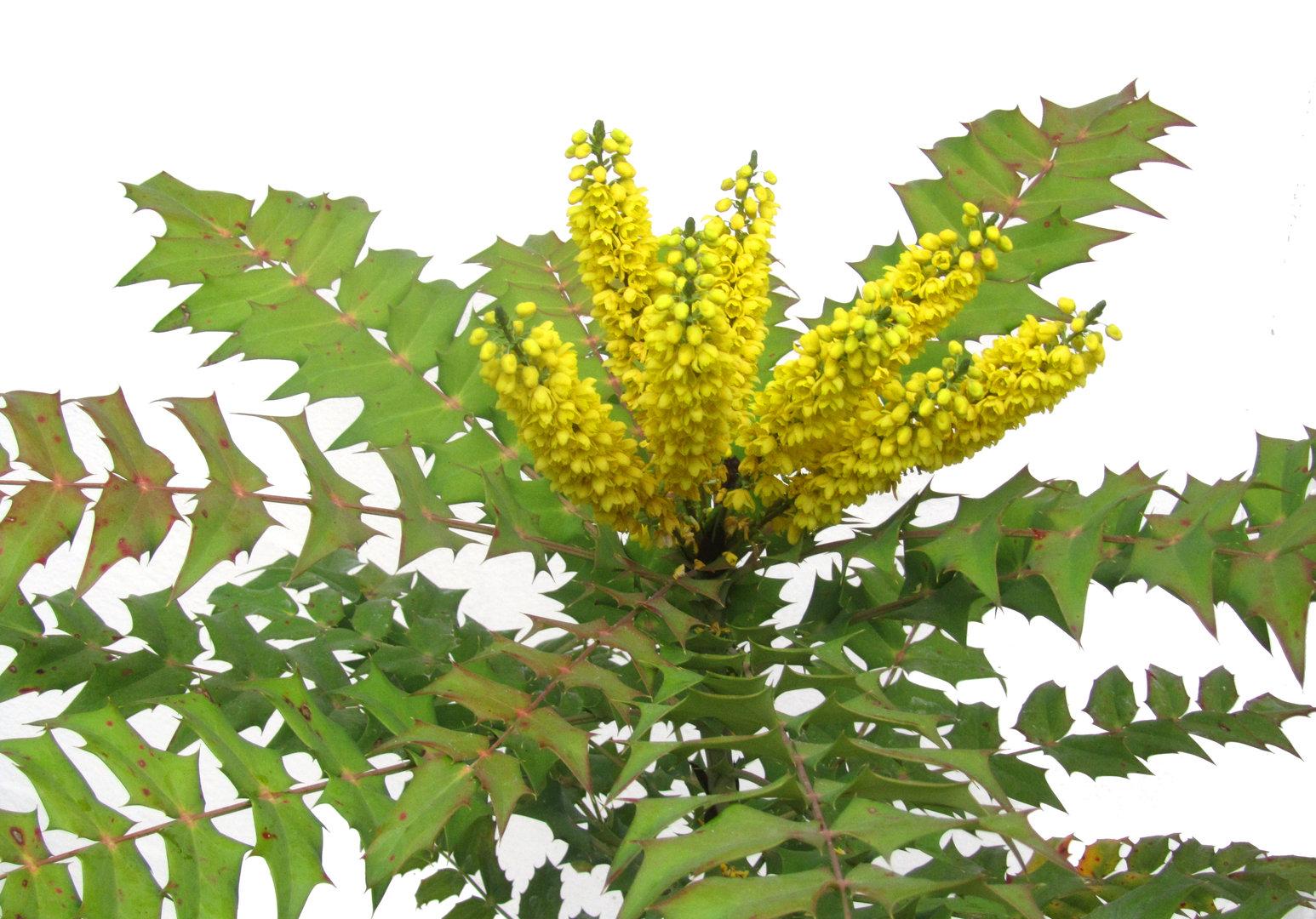Mahonia media 39 winter sun 39 immergr ne mahonie pflanzen for Versand zimmerpflanzen