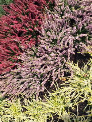calluna vulgaris besenheide heidekraut rot 12 cm topf pflanzen versand f r die besten. Black Bedroom Furniture Sets. Home Design Ideas