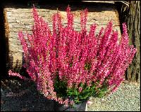 gaultheria procumbens scheinbeere rote teppichbeere pflanzen versand f r die besten. Black Bedroom Furniture Sets. Home Design Ideas
