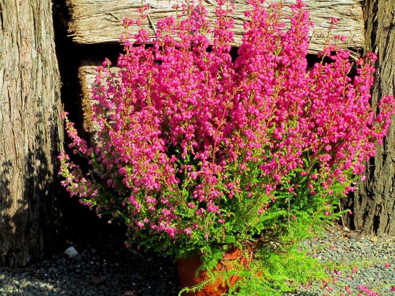 erica gracilis sommererika glockenheide erika pflanzen versand f r die besten. Black Bedroom Furniture Sets. Home Design Ideas