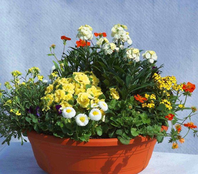 schale bepflanzt fr hling 44 cm pflanzen versand f r die besten winterharten balkonpflanzen. Black Bedroom Furniture Sets. Home Design Ideas