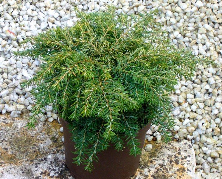 Tsuga canadensis nana kleine hemmlockstanne pflanzen for Zimmerpflanzen versand