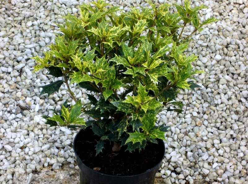 osmanthus heterophyllus variegata ilexbl ttrige. Black Bedroom Furniture Sets. Home Design Ideas