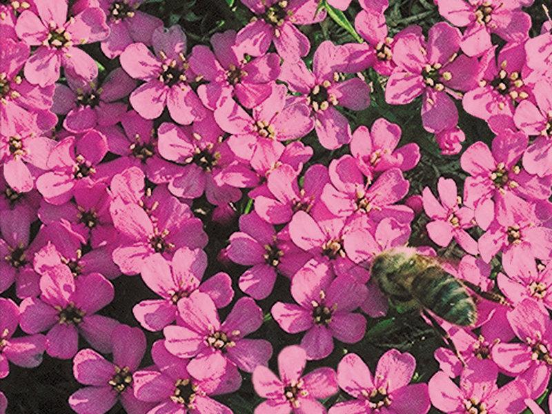 Silene acaulis moosbleamel steinguckerli pflanzen for Versand zimmerpflanzen