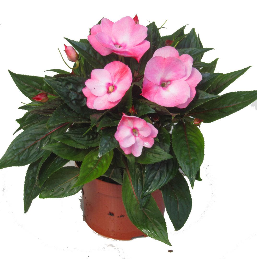 impatiens neu guinea flei iges lieschen edellieschen ros pflanzen versand f r die besten. Black Bedroom Furniture Sets. Home Design Ideas