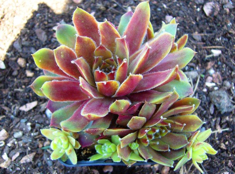 Sempervivum hybride 39 mahagoni 39 hauswurz pflanzen versand for Versand zimmerpflanzen