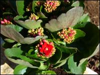 dipladenia mandeville hundsgiftpflanze wei pflanzen versand harro 39 s pflanzenwelt kaufen. Black Bedroom Furniture Sets. Home Design Ideas