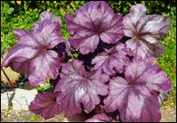 heuchera 40 sorten purpurg ckchen pflanzen versand harro 39 s pflanzenwelt kaufen online bestellen. Black Bedroom Furniture Sets. Home Design Ideas