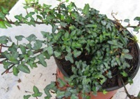 grabbepflanzung bodendecker pflanzen versand harro 39 s pflanzenwelt kaufen bestellen online. Black Bedroom Furniture Sets. Home Design Ideas