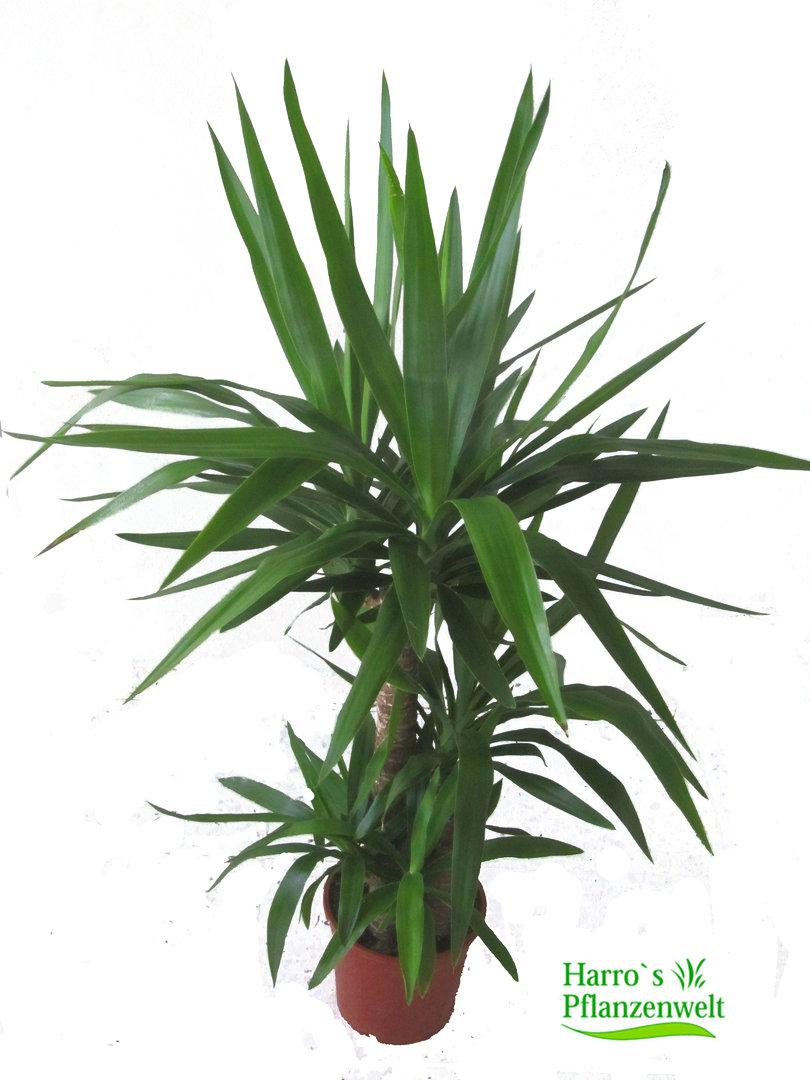 Yucca palme kaufen zimmerpflanze herausragende qualit t for Yucca wohnzimmer