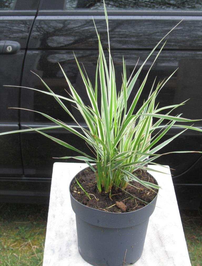 Zimmerpflanzen Gräser calamagrostis acutiflora gestreift reitgras gräser pflanzen versand für die besten
