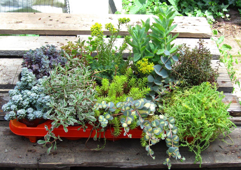 sedum mischung aus den sch nsten sedumsorten pflanzen versand harro 39 s pflanzenwelt kaufen. Black Bedroom Furniture Sets. Home Design Ideas