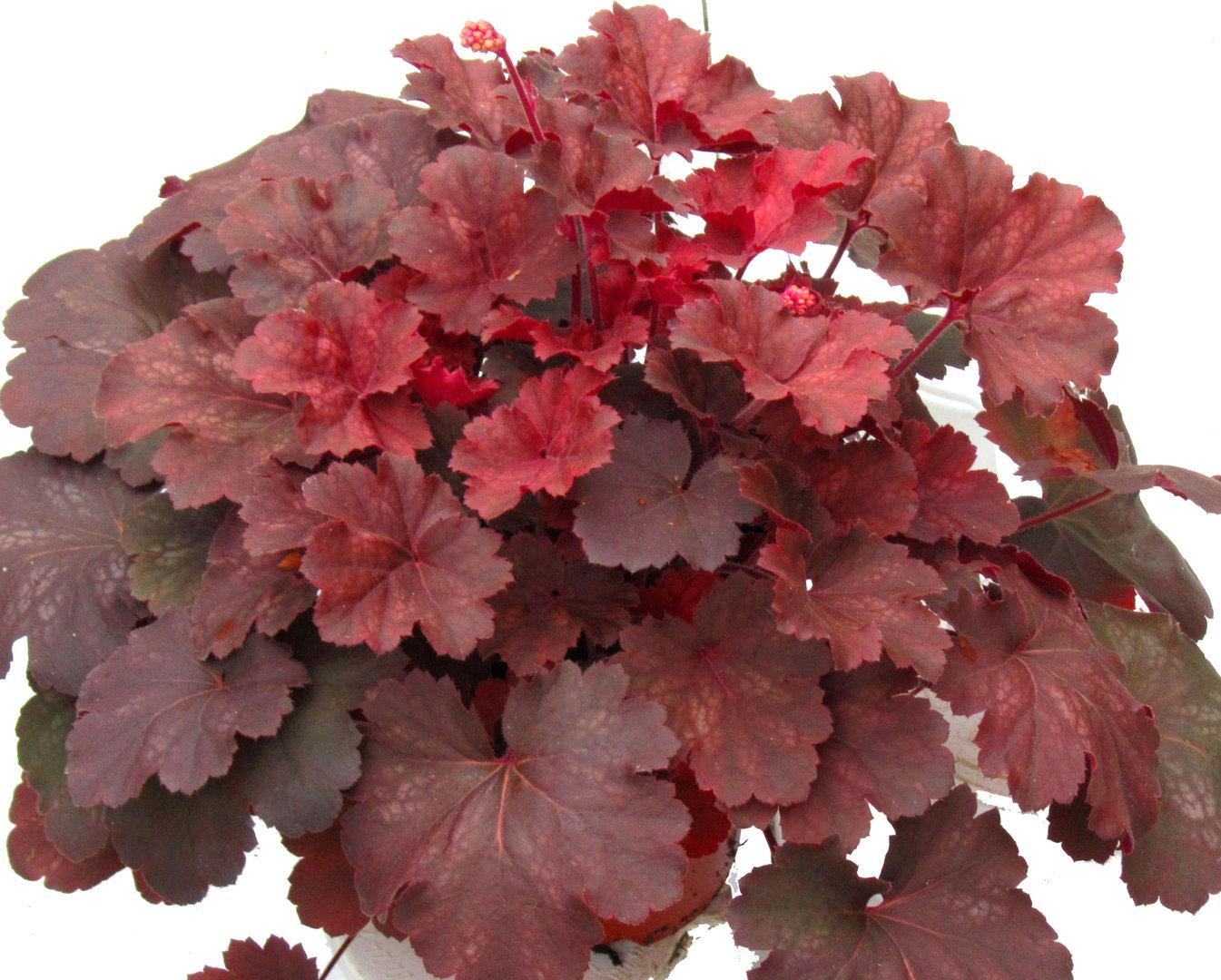 Heuchera cultivare hybrida 39 cherry cola 39 purpurgl ckchen pflanzen versand f r die besten - Rankende zimmerpflanzen ...