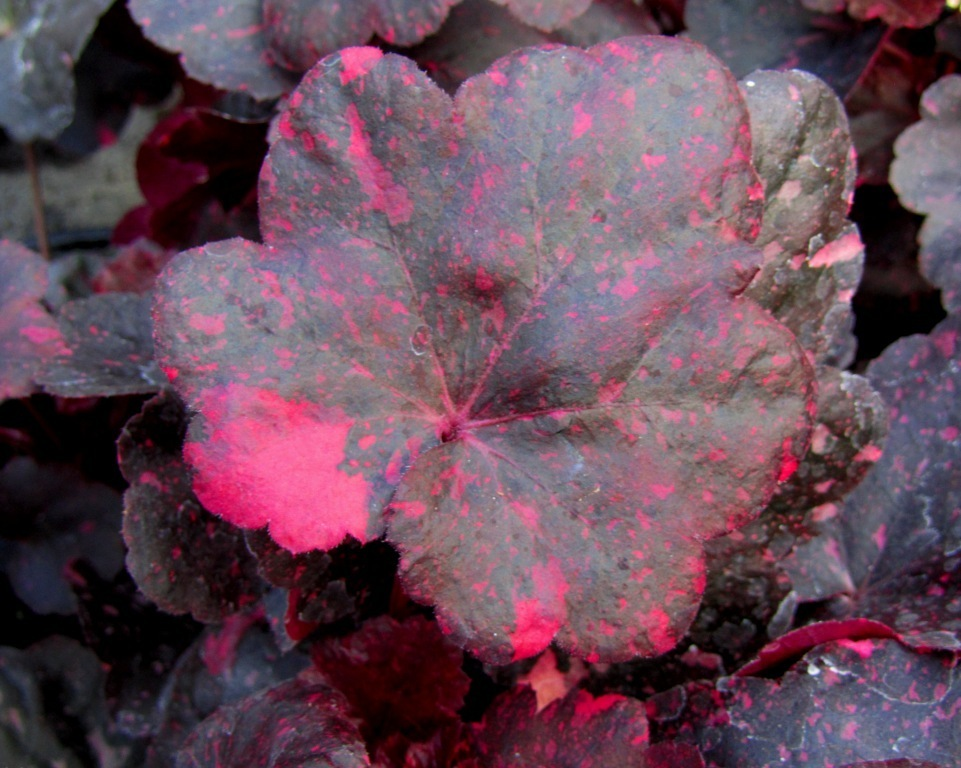 heuchera cultivare hybrida 39 midnight rose 39 purpurgl ckchen pflanzen versand f r die besten. Black Bedroom Furniture Sets. Home Design Ideas