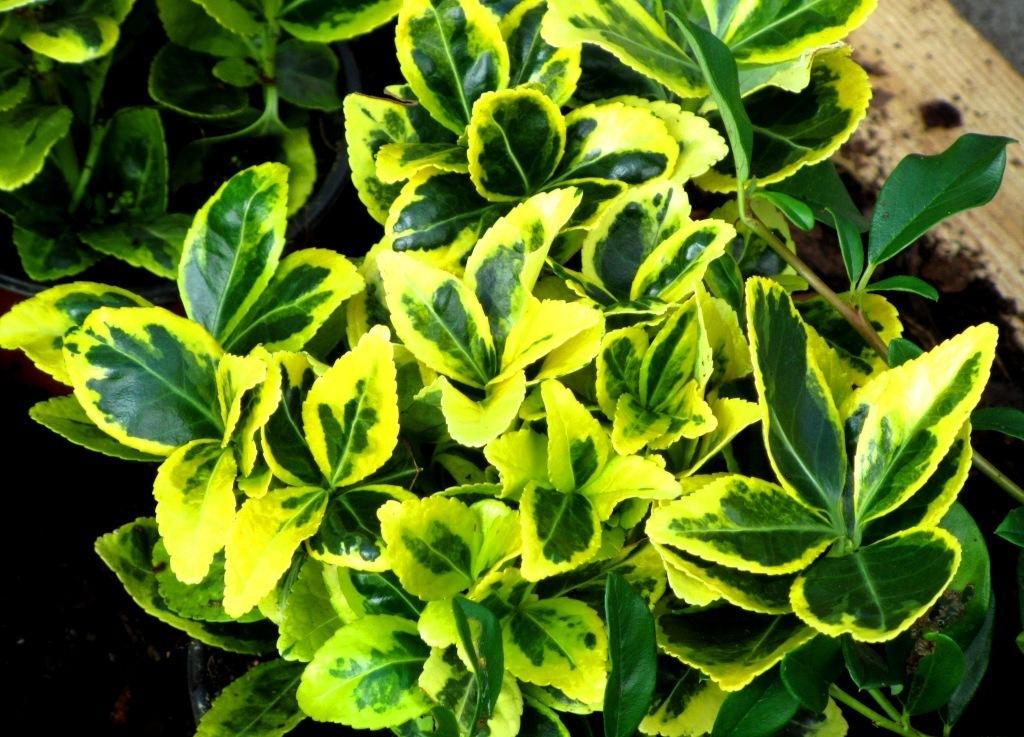 Euonymus japonicus - Japanspindel- Pflanzen Versand kaufen ...