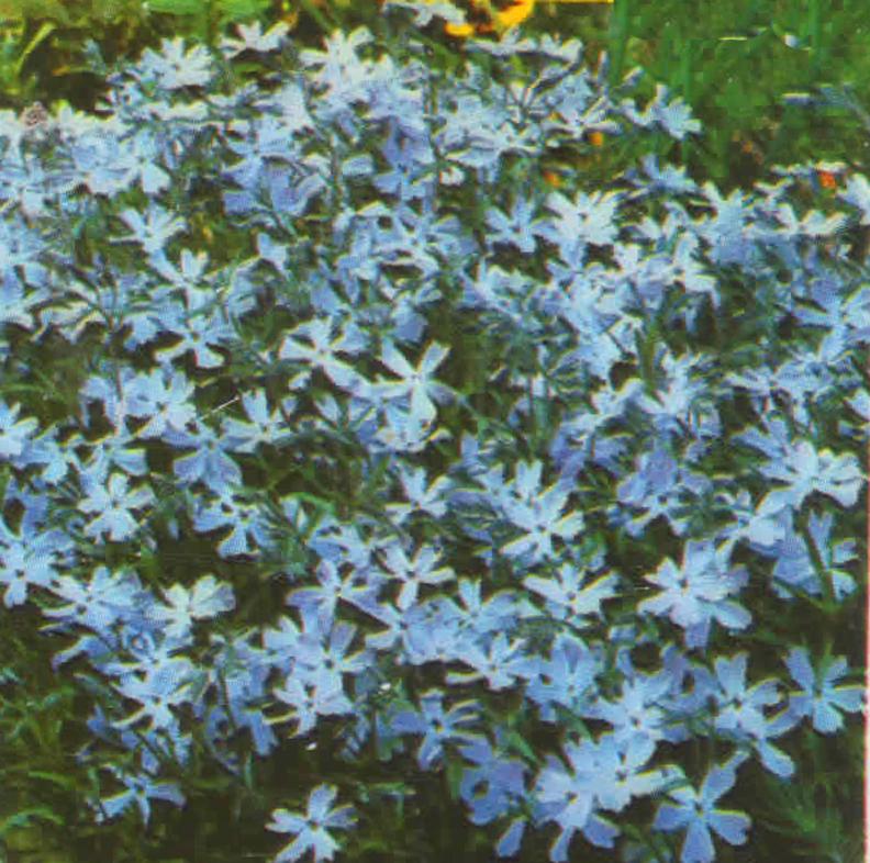 Polsterphlox Phlox Subulata Alpine Pflanzen Harro S Pflanzenwelt