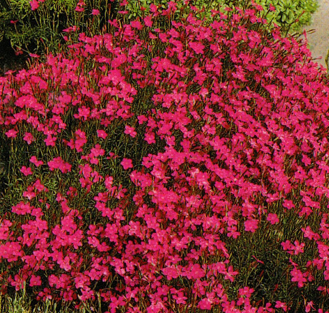 dianthus deltoides heidenelke rot pflanzen versand harro 39 s pflanzenwelt kaufen bestellen online. Black Bedroom Furniture Sets. Home Design Ideas