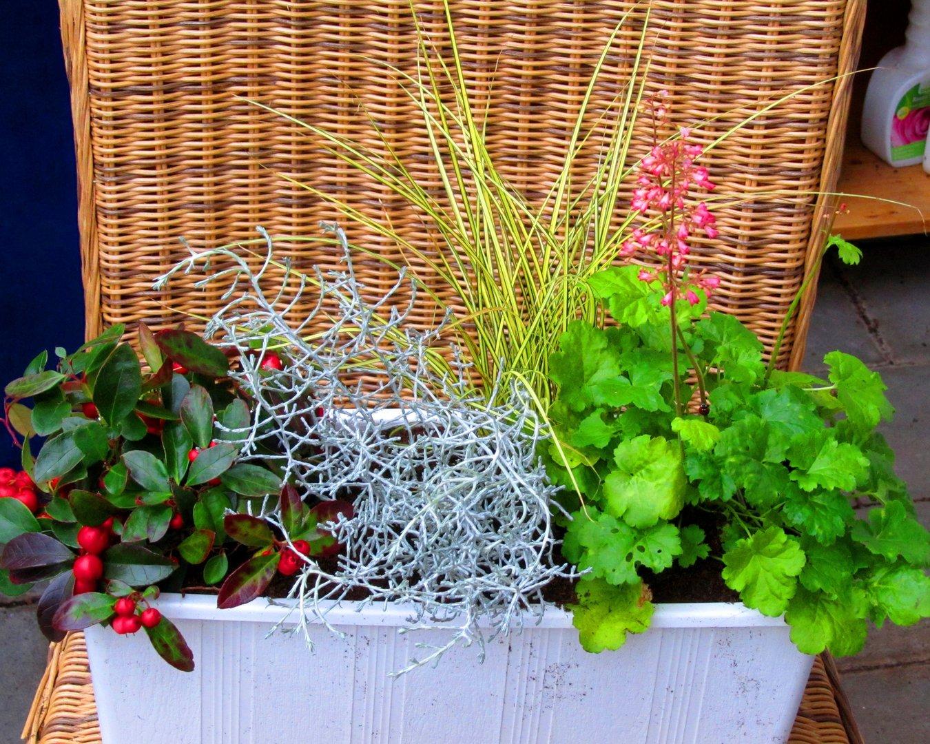 pflanzen set f r 40 cm balkonkasten schale k bel pflanzen versand f r die besten winterharten. Black Bedroom Furniture Sets. Home Design Ideas