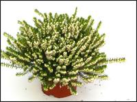 erica verticillata s dafrikanisches heidekraut pflanzenversand harro 39 s pflanzenwelt kaufen. Black Bedroom Furniture Sets. Home Design Ideas