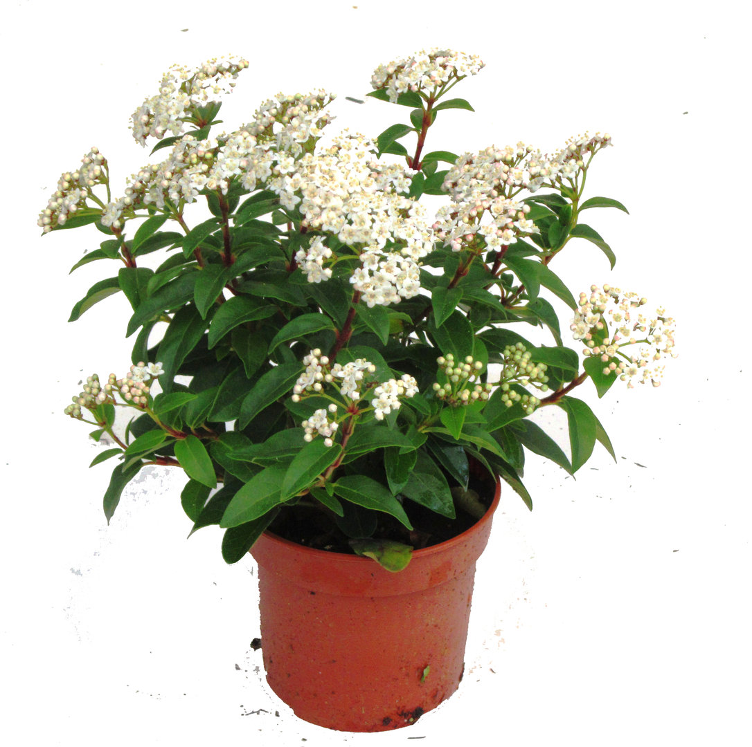 Viburnum tinus lorbeerschneeball 11 cm topf pflanzen for Versand zimmerpflanzen