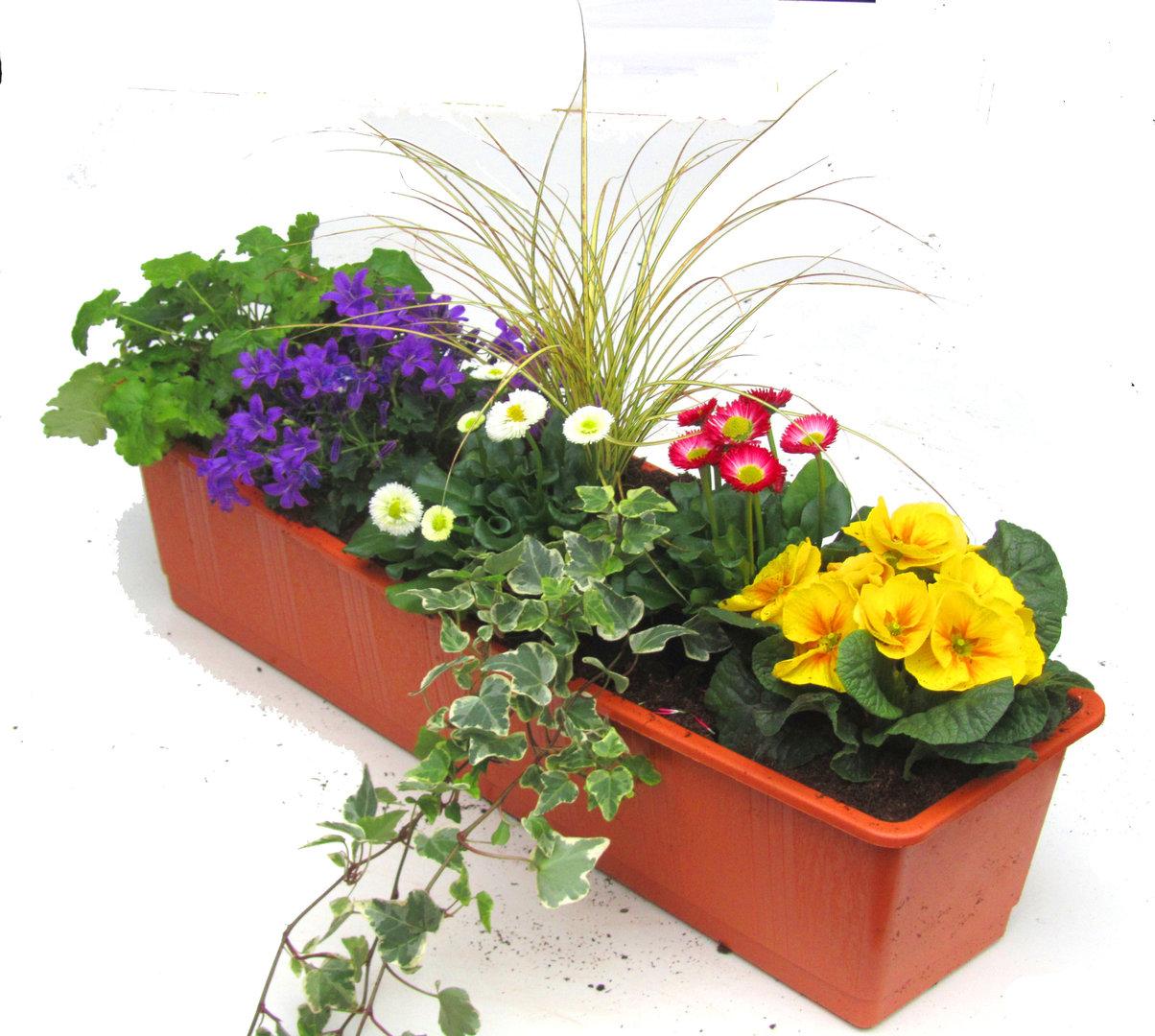 bepflanzter fr hlings balkonkasten 60 cm im bew sserungskasten pflanzen versand f r die besten. Black Bedroom Furniture Sets. Home Design Ideas