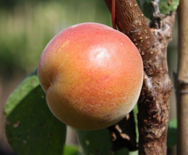 aprikose orangenaprikose bhart kaufen online im pflanzen shop harro 39 s pflanzenwelt. Black Bedroom Furniture Sets. Home Design Ideas