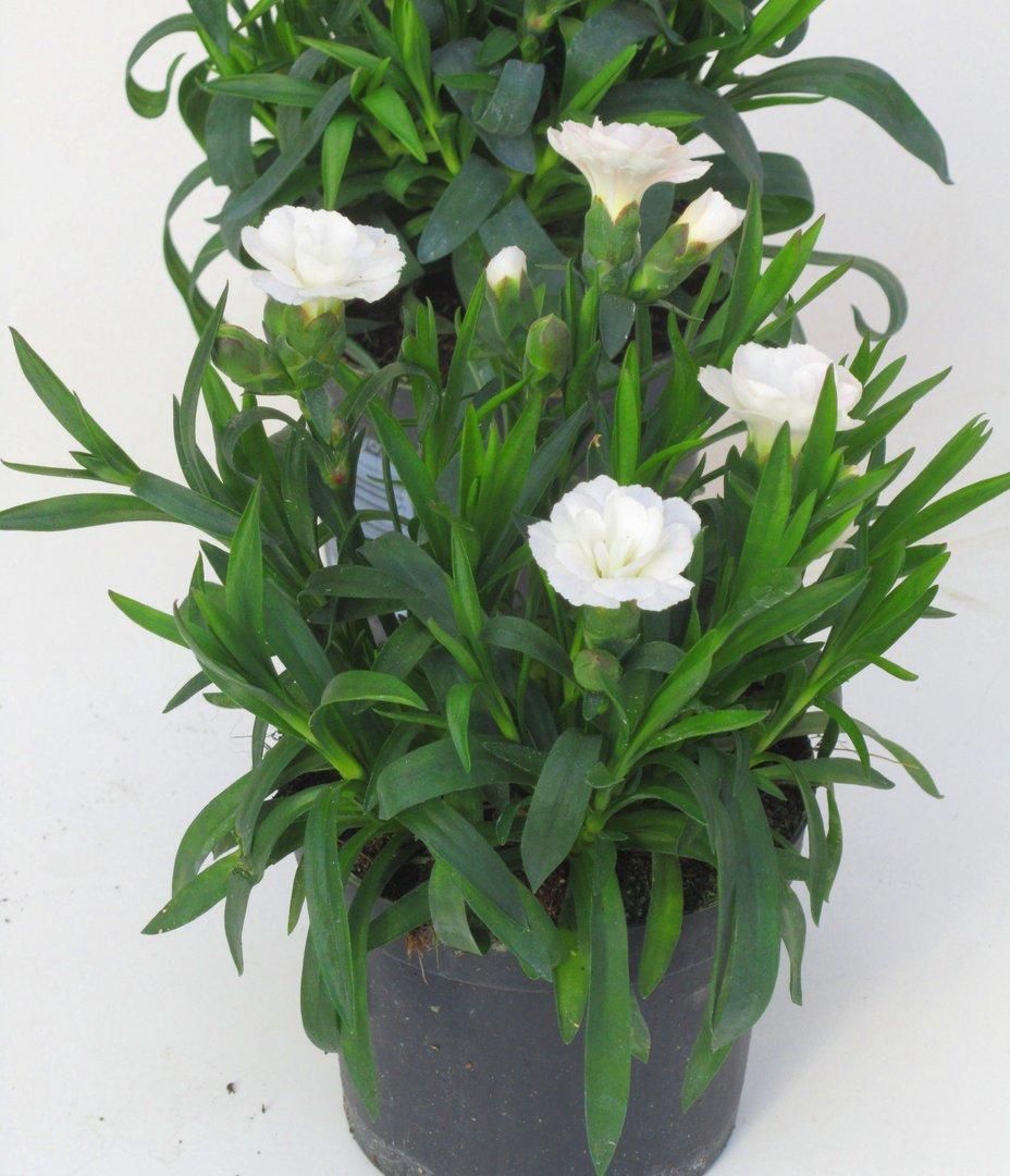 dianthus caryophyllus teneriffa nelke plfanze pflanzen. Black Bedroom Furniture Sets. Home Design Ideas