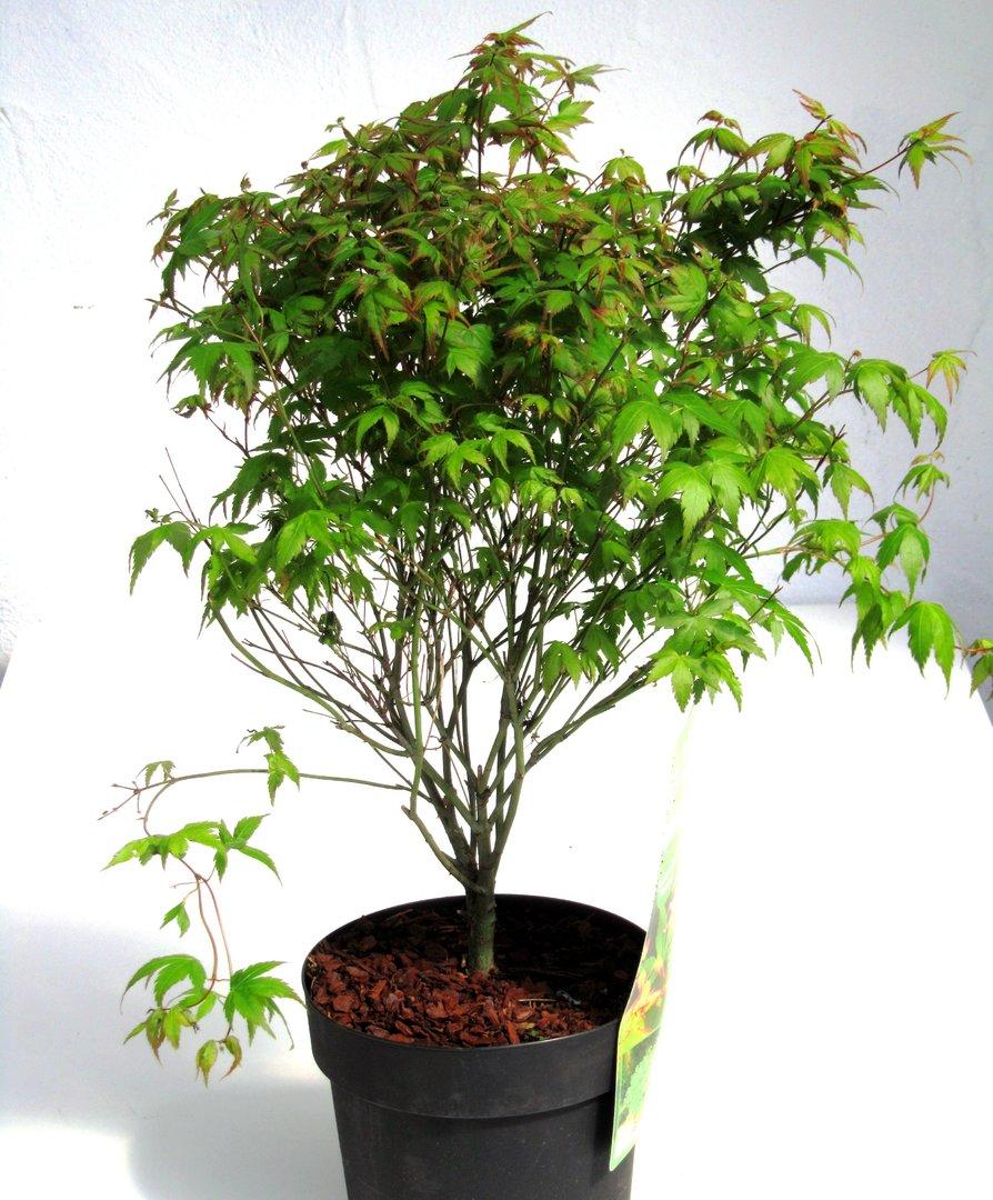 Acer palmatum little princess 39 japanischer f cherahorn for Versand zimmerpflanzen