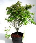 f cher ahorn acer palmatum pflanzen versand kaufen im online shop bestellen. Black Bedroom Furniture Sets. Home Design Ideas