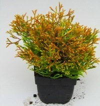 klein bleibende koniferen pflanzen versand f r die. Black Bedroom Furniture Sets. Home Design Ideas