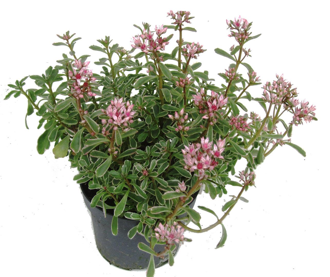 Sedum spurium tricolor dreifarbige fetthenne pflanzen for Versand zimmerpflanzen