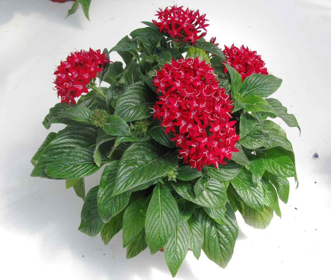 pentas rot pflanzen versand harro 39 s pflanzenwelt kaufen bestellen im online shop. Black Bedroom Furniture Sets. Home Design Ideas