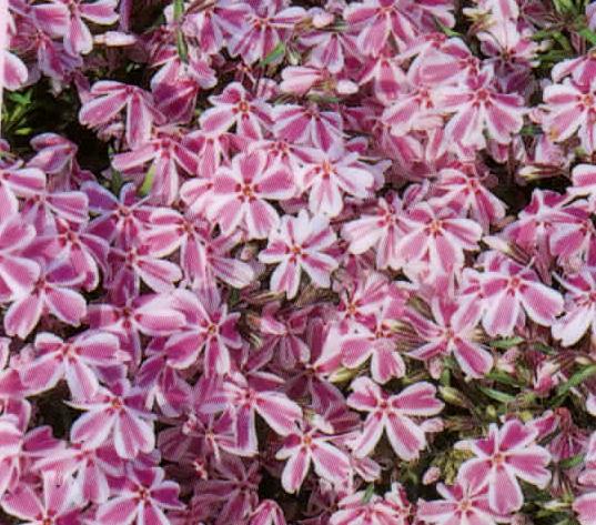 polsterphlox phlox subulata alpine pflanzen harro 39 s pflanzenwelt kaufen bestellen online. Black Bedroom Furniture Sets. Home Design Ideas