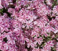 alpine stauden pflanzen versand harro 39 s pflanzenwelt kaufen bestellen online. Black Bedroom Furniture Sets. Home Design Ideas