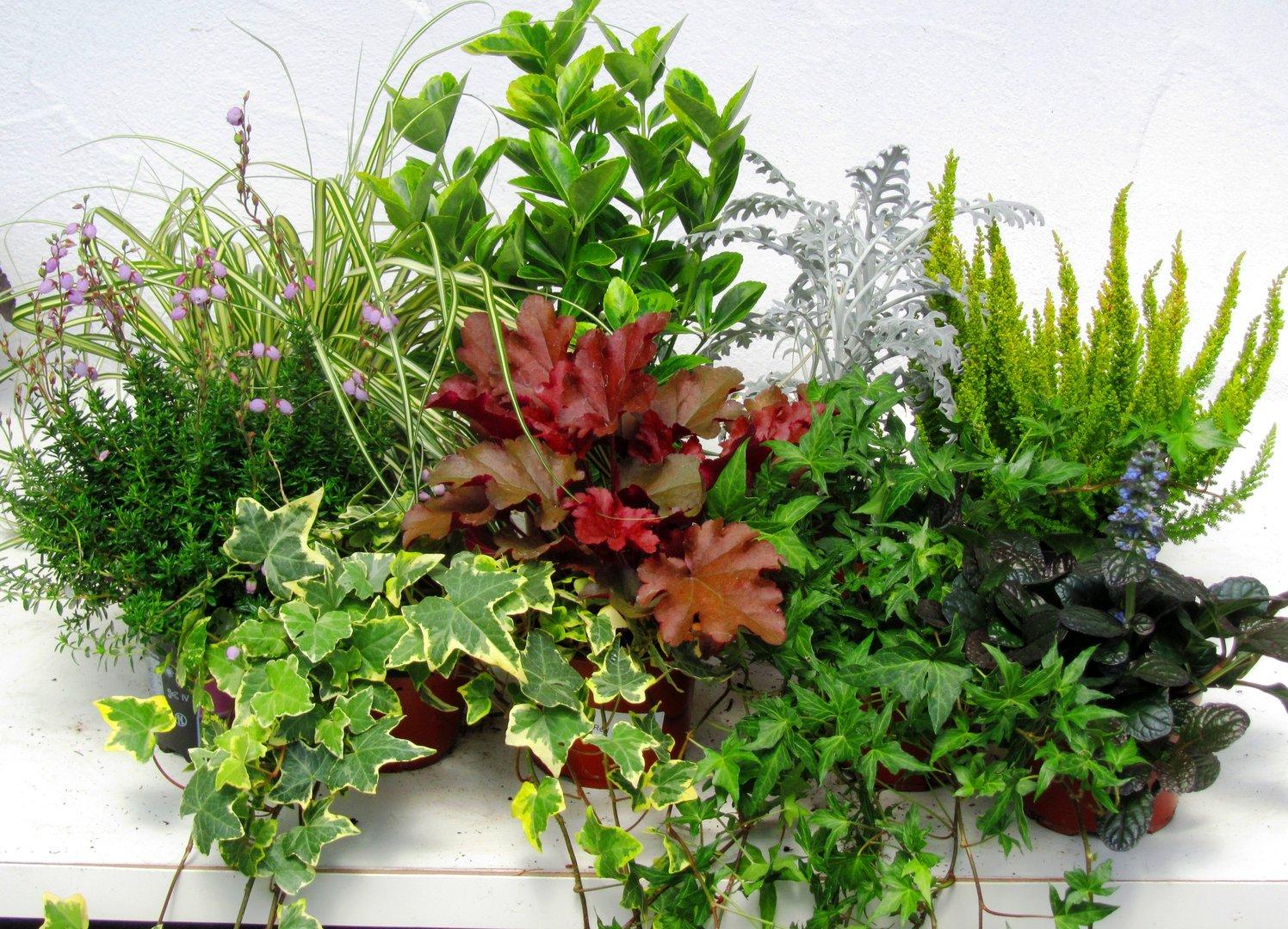 balkonpflanzen set f r balkonk sten 100 cm lang pflanzen versand f r die besten winterharten. Black Bedroom Furniture Sets. Home Design Ideas